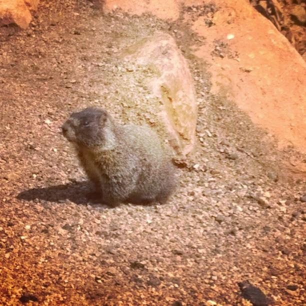 Picture of a marmot